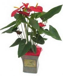 Горшечное растение «Anthurium»