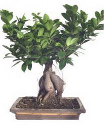 Горшечное растение «Bonsaj»