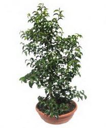 Горшечное растение «Fikus Bendjamina»