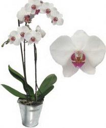 Горшечное растение «Phalaenopsis»