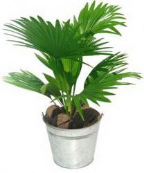 Горшечное растение «Livistona»