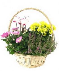 Горшечное растение «Garden in Basket»