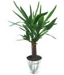 Горшечное растение «Yucca»