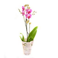 Горшечное растение «Orchid-Phalaenopsis»