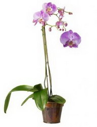«Wild orchid»
