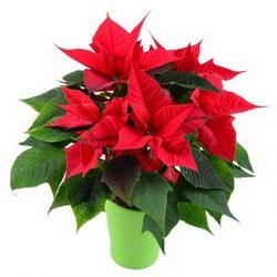 Горшечное растение «Christmas star»