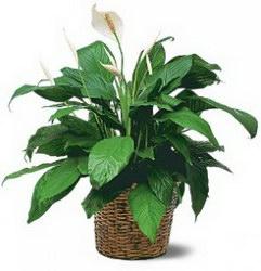 Горшечное растение «Spatifillum Chopin»