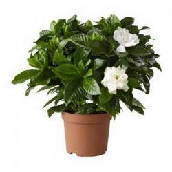 Горшечное растение «Gardenia jasmine»