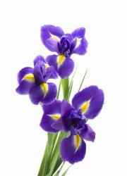 «Irises»