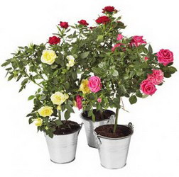 «Rose in the pot»